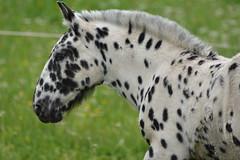 DSC_4628 (d90-fan) Tags: animals outdoors austria tiere sterreich natur pferde schnecke rauris fohlen hohetauern tauern krumltal murmeltiere raurisertal