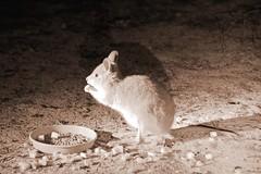 Mala or Rufous hare-wallaby (Lagorchestes hirsutus) (Keefy2014) Tags: mala rufous dryandra hirsutus barnamia harewallaby lagorchestes