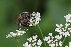 Miner bee on ground elder (Lord V) Tags: macro bug insect bee andrena minerbee