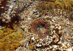Anemone 2 (Wolfram Burner) Tags: ocean life park ca water bay monterey waves state pacific grove tide salt crab anemone pools burner asilomar hermit wolfram scgis