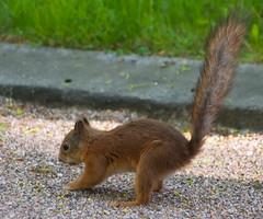 Bad Caching (TomiTapio) Tags: cemetery iso800 bury helsinki squirrel tail busy orava cache burying tame écureuil caching hietaniemi sciurusvulgaris sqrl eurasianredsquirrel kurre canonef90300mmf4556usm