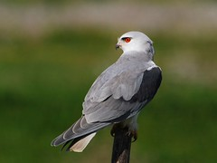 Black-shouldered Kite (anacm.silva) Tags: wild bird portugal nature birds nikon wildlife natureza ngc aves ave elanuscaeruleus blackshoulderedkite peneireirocinzento vidaselvagem peneireiro pontadaerva anasilva nikond40x