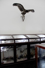 Hawk and Display Cases (Curious Expeditions) Tags: nature museum vintage antique naturalhistory taxidermy vietnam collection mounted hanoi zoology zoological frenchcolonial