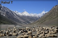 Herd of Sheep (Rahul Thakkar 123) Tags: india mountain snow nature animal landscape asia sheep wildlife flock group hills herd sheeps himachal pradesh snowmountain herdofsheep
