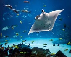 Water Wings (JLMphoto) Tags: atlanta fish jeff water georgia aquarium ray tank wing wingspan manta milsteen
