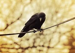 Keeping an eye on his cohorts (liquidnight) Tags: camera winter tree look birds animals oregon portland nikon bokeh bare wildlife branches birding powerlines cables wires ur