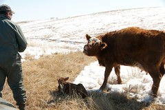 ANgry Cow with newborn DSC_2765 (Debbie Prediger Photography) Tags: ranch blue winter red summer sky food brown white snow black green nature field grass animal animals horizontal clouds rural standing hair landscape mammal outdoors photography cow milk healthy close cattle cows eating farm background beef country farming young mother meadow nobody scene bull meat domestic pasture alberta debbie prairie agriculture calf prairies livestock herd bovine grazing ranching calving prediger nonurban newborncalf coreysolympuscard