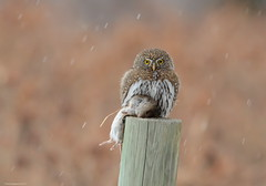 Northern Pygmy-Owl (Glaucidium gnoma) (Photography Through Tania's Eyes) Tags: snow canada nature animal fauna lunch mouse photo bill pom wings nikon photographer bc post image britishcolumbia okanagan wildlife feathers photograph meal owl snowing birdofprey nationalgeographic noahsark birdwatcher okanaganvalley peachland northernpygmyowl glaucidiumgnoma freshkill copyrightimage nikond7000 taniasimpson amazingwildlifephotography allofnatureswildlifelevel1