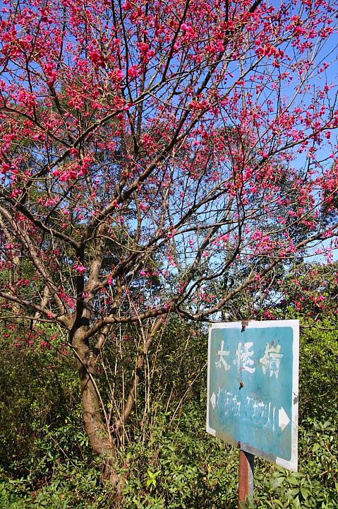 土城太極嶺櫻花步道029