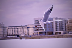 44/366 Clear for landing (geinography) Tags: bird nikon sweden 365 södertälje 2012 hammarbysjöstad d90 project365 hammarbysjö sjöstan