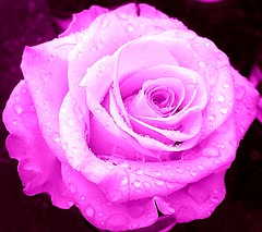 Its raining (again) (ToJoLa) Tags: pink rose canon roos zomer 2008 limburg roze appeltern masterphotos abigfave aplusphoto canong9 excellentflowers goldstaraward mygearandme