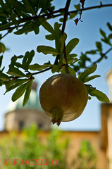 Pomegranade (F.Ocello) Tags: red sky italy plant tree green fall church ecology fruit feast garden botanical religious leaf healthy mediterranean european cathedral symbol eating farm traditional harvest pomegranate fresh exotic vegetarian jewish environment medicine leafs rosh ravenna ripe healt ingredient vitamin