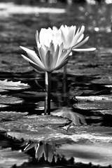 Lotus flowers in b&w (Pronche) Tags: bw white black flower indonesia lumix lotus bokeh tirta taman gf1 gangga