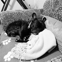 Snooze (Lainey1) Tags: sleeping bw dog blurry lowlight fuji sleep bulldog snooze frenchie frenchbulldog ozzy x10 frogdog fujix10