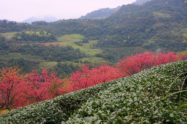 玉蘭茶園櫻花0017