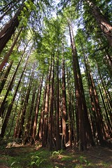 Welcome to the World of Redwoods (Yinghai) Tags: forest redwood pard portola