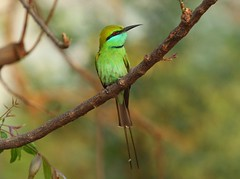green bee eater (Raghuvir solanki) Tags: thewonderfulworldofbirds allofnatureswildlifelevel1 allofnatureswildlifelevel2 allofnatureswildlifelevel4 allofnatureswildlifelevel5 allofnatureswildlifelevel8 allofnatureswildlifelevel6 allofnatureswildlifelevel7 allofnatureswildlifelevel9