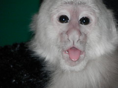 Baby Monkey (Randi Deuro) Tags: pet animal monkey photo photos unlimited unlimitedphotos