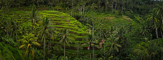 Tegallalang Terraces (Matthew Post) Tags: bali indonesia rice terraces palm palmtrees ricepaddies terraced tegallalang