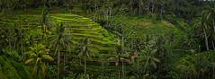 Tegallalang Terraces (Matthew Post) Tags: bali indonesia rice terraces palm palmtrees ricepaddies terraced tegallalang