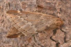 1663-DSCN5362 March Moth (Alsophila aescularia) (ajmatthehiddenhouse) Tags: geometridae oenochrominae moth marchmoth alsophilaaescularia garden stmargaretsatcliffe kent uk 2012
