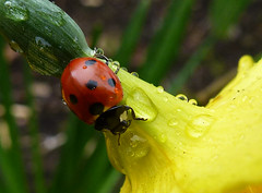 Ladybird, Daffodil & Droplets2 (g crawford) Tags: flowers plants plant flower macro water rain gardens closeup garden insect shower droplets beetle insects daffodil raindrops ladybird ladybug ladybugs macros beetles closeups ladybirds daffodils crawford