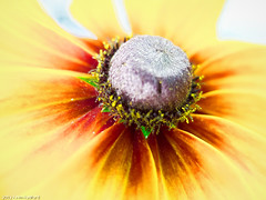 DSCF0427a (Radford Photography) Tags: blue flower macro yellow daisy gloriosadaisy fujix10 kevinradford