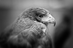 Harris Hawk B&W (CelticOrigins Photography) Tags: portrait england blackandwhite bw bird animal canon photography northwest hawk north raptor buzzard captive 100400mm birdofprey gauntlet knutsford captivewildlife harrishawk parabuteounicinctus baywingedhawk duskyhawk welshphotographer gauntletbirdsofpreyeagleandvulturepark celticorigins celticoriginsphotography