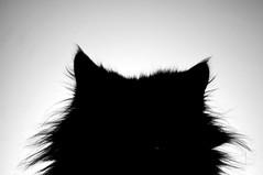 Feline Silhouette B&W (CAUT) Tags: portrait bw hairy southamerica animal silhouette cat hair nikon colombia bogota retrato abril kitty bn gato april gata felino meow silueta angora negra miau pelo 2012 jacinta 2011 peluda américadelsur caut nikond90 blackangora angoranegro