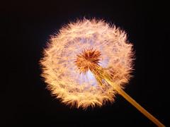 Dandelion (mak.27) Tags: longexposure blue light black flower macro night lights details dandelion seedhead 25sec noprocessing sonydscw17 gaziantepturkey