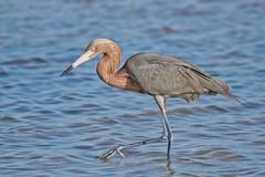Where's your cousin? (Andy Morffew) Tags: florida explore wading marcoisland reddishegret tigertailbeach specanimal birdperfect andymorffew morffew