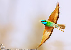 - Little Green Bee-eater (Saleh Al-Sayegh) Tags: green canon little 7d l usm f56 beeeater 400mm