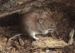 Bank Vole (John (Gio) * OVER 100,000 VIEWS *) Tags: nature mammal kent wildlife olympus gio smallmammal fourthirds bankvole nbw muridae clethrionomysglareolus zuikodigitaled50200mmf2835swd