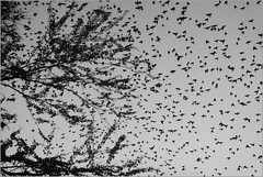 metamorphosis - i (nevil zaveri) Tags: autumn sky blackandwhite bw india tree bird nature monochrome birds animals photography fly blog branch photographer display photos wildlife branches flock stock flight starling images photographs photograph wilderness skyscapes zaveri metamorphosis gujarat stockimages travelogue rosy jamnagar gujrat nevil saurashtra nevilzaveri