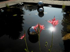 Schizostylis coccinea 'Major' (HansHolt) Tags: sun selfportrait backlight pond sphere bol zelfportret zon tegenlicht vijver schizostyliscoccinea