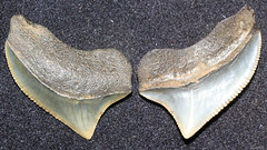 Crow Shark (Squalicorax Pristodontus) (Fossiltoothpic) Tags: macro animal animals canon tooth fossil shark teeth paleontology prehistoric extinct fossils sharkteeth cretaceous sharktooth 100mmmacro serrations canoneos7d fossilsharktooth fossiltooth crowshark fossilteeth