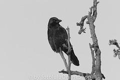 Rabenkraehe_Corvus corone-32 (fotolulu2012) Tags: blackandwhite black animals schwarzweiss weiss schwarz tierfotos blackendwithe schwarzweissbilder avibase