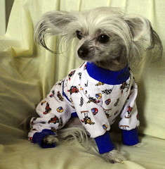 dog pet chihuahua cute canine clothes timmy crested couture laboneyard
