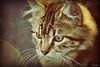 VINTAGE KITTY IN THE SUNSET (mutter2009 *OFF*) Tags: cat vintage kitten textures nikond60 kittysuperstar kissablekat bestofcats kittyschoice thatsclassy catnipaddicts hganimalsonly