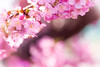 Enter Spring (JapanDave) Tags: flowers japan spring fav50 fav20 桜 日本 sakura cherryblossoms fav30 春 fav10 fav250 fav100 fav200 fav300 fav40 fav60 kawazuzakura 河津桜 fav110 fav90 fav150 fav170 fav80 fav70 fav120 fav140 fav160 fav180 fav190 fav130 fav210 fav220 fav230 fav240 fav400 fav260 fav270 fav280 fav290 fav310 fav320 fav330 fav340 fav350 fav360 fav370 fav380 fav390 fav410 fav420 fav430 fav440 fav450 fav460 fav470 カワヅザクラ