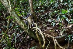 Thomas Leaf Monkey 0519 (Ursula in Aus) Tags: animal sumatra indonesia unesco bukitlawang gunungleusernationalpark earthasia