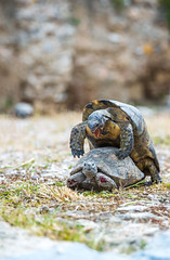 Turtles aggressive interactions (lucien_muller) Tags: travel wild nature animals canon wildlife turtles markiii tortues canon5dmarkiii 5dmarkiii