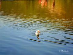 Duck (Vasil Gochev) Tags: light sunlight lake color bird art animal photography duck sofia outdoor natura bulgaria aquatic pancharevo