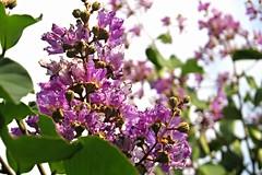 banaba (queen's flower) (DOLCEVITALUX) Tags: flowers flower fauna flora philipines banaba medicinalplants queensflower