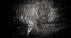 Tiger im Zoom Gelsenkirchen (rollirob) Tags: blackandwhite bw nikon zoom tiger sw schwarzweis raubtiere raubkatzen nikond800