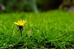 124 ~ 366 (BGDL) Tags: grass garden lawn daisy niftyfifty nikond7000 bgdl afsnikkor50mm118g lightroomcc goingfor4inarow~366