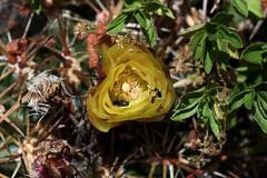 Neoporteria tuberisulcata (Umadeave) Tags: chile cactus montagne plante flora chili desert flore eriosyce curvispina neoporteria tuberisulcata