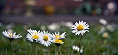 spring (Snowy5) Tags: blue white flower macro bells canon shropshire 100mm daisy garlic 1785mm 600d whild snowy5