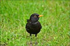 Blackbird (franciska_bosnjak) Tags: green bird nature grass nikon outdoor blackbird d3100