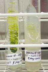 ORNG0706 (David J. Thomas) Tags: culture cave algae microbiology slant agar cyanobacteria phycology lyoncollege bg11 photobiont phycobiont